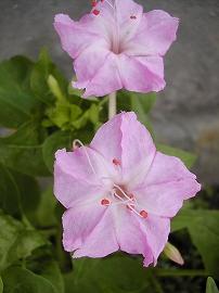 060727osiroibana_pink