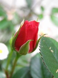 070516mini_rose1