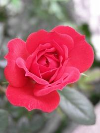 070516mini_rose3