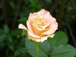 070612rose_orange2
