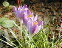 050302crocus_up