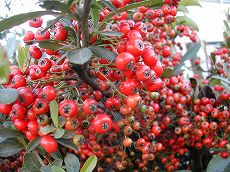 051023pyracantha_up