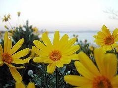 060128enosima_flower