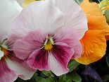 060313pansy1