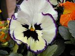 060313pansy2