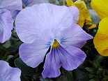 060314pansy4