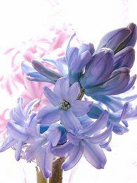 060324hyacinth_blue