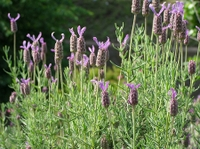 080601_30flench_lavender1
