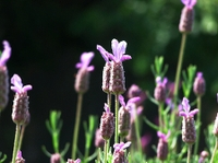 080601_32flench_lavender2