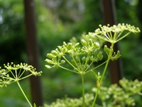 080701italian_parsley2