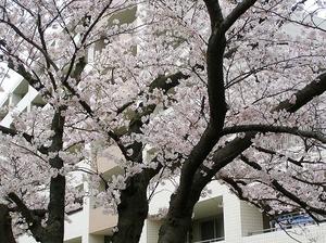 100404kasiogawa_sakura21
