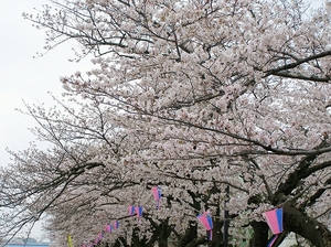 100404kasiogawa_sakura6