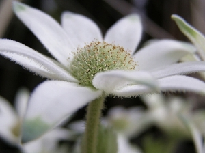 100522flannel_flower5