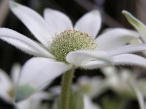 100522flannel_flower5