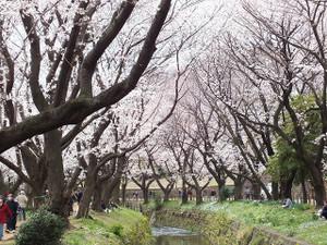120407hikitigawa_senbonzakura3