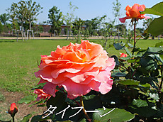 120519kana_garden3_mozi