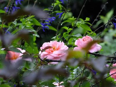 140719rose_pink2