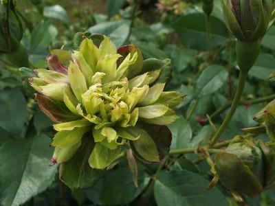 160508_rose10_viridiflora