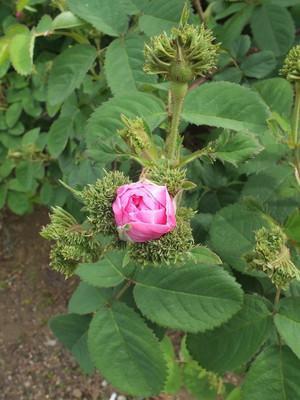 160508_rose11_chapeau_de_napoleon1