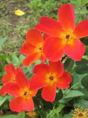 160508_rose17_rosa_foetida_bicolor1