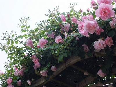 160508_rose32