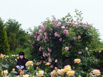 160508_rose33_kao