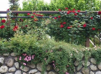 160508_rose23