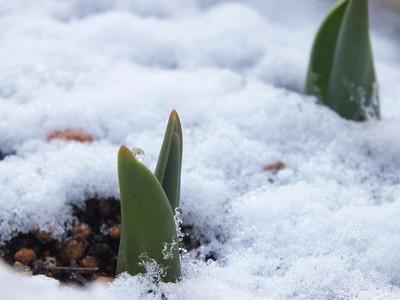 170211snow_tulip