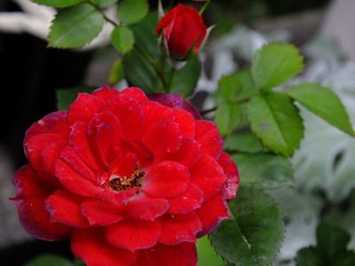 170515mini_rose