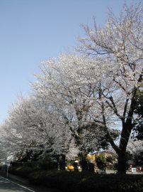 060331takakurakouen_sakura
