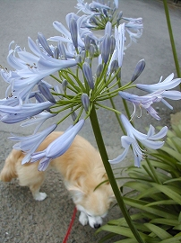 060703agapanthus_cook