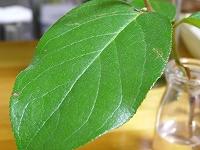 070517lemon_leaf