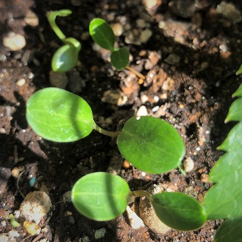 200213helleborus_-hybridus_futaba