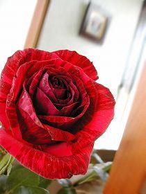 060208red_rose1