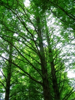 080615sagamihara24metasequoia2
