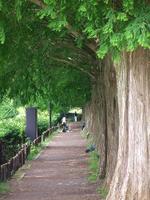 080615sagamihara34metasequoia_namik