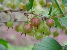 090620gooseberry2