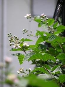 090526blackberry