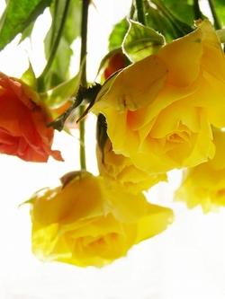 100408sp_rose1_2