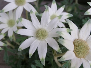 100522flannel_flower2