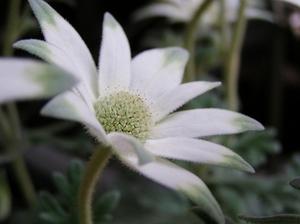 100522flannel_flower3