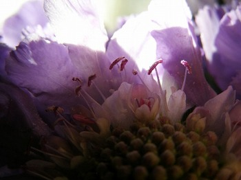 110107scabiosa_up1
