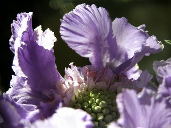 110107scabiosa_up2