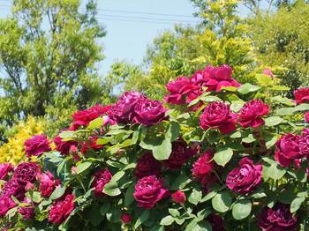 120519kana_garden39