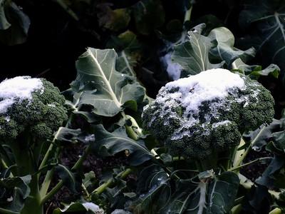 140205broccoli_snow2