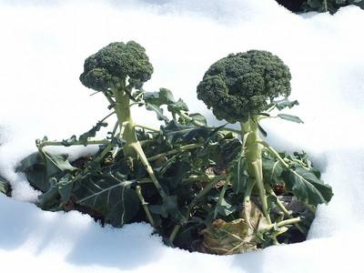 140221broccoli_snow