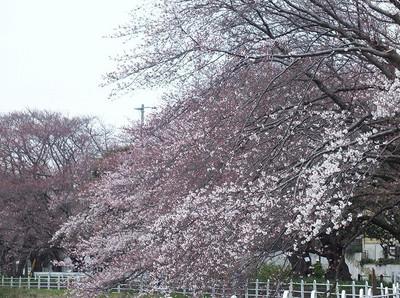 160330_sakura1