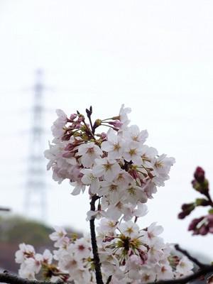 160330_sakura12
