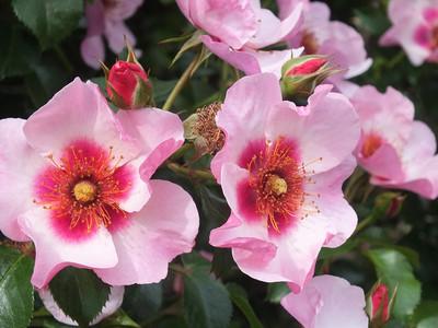 160508_rose5_eyes_on_me1