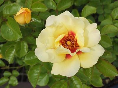 160508_rose7_eyeconic_lemonade